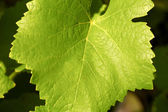 Close up of a green vine-leaf — Stock Photo