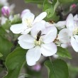 Pollinating apple blossom — Stock Photo