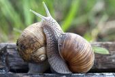 Snail fight — Stock Photo