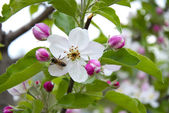 Apple blossom with bee — Stock Photo
