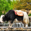 His name is Yak — Stock Photo