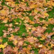 Stock Photo: Fallen Maple