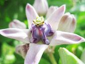 Crown Flower — Stock Photo