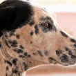 Stock Photo: Canine profile