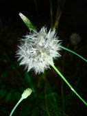Dandelion — Stockfoto
