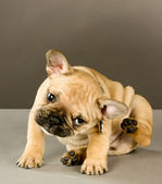 Adorable Scratching Puppy — Stok fotoğraf