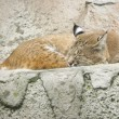 Stock Photo: Trot animal sleeping