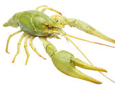 Green river lobster — Stock Photo