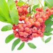 Mountain ash berries on branch — Stock Photo