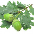 Oak tree leaves and nuts — Stock Photo