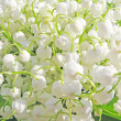 Stock Photo: Lily of the valley floral background