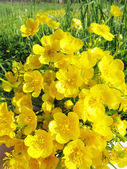 Buquê de flores de xícara de manteiga amarelo do campo — Fotografia Stock