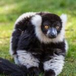 Black and white Lemur — Stock Photo #10380754