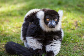 Black and white Lemur — Stock Photo