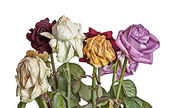 Old wilted roses — Stock Photo