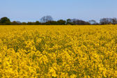 Yellow rape field with blue Sky — Stock Photo