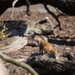 Mongoose — Stock Photo #9610246