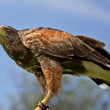 Hunting Harris Hawk — Stock Photo #9611020