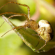 Stock Photo: Green Orb Spider