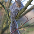 A grey squirrel on a branch in a tree — Stock Photo #9611441