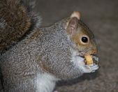 Close up of grey squirrel eating — Stock Photo
