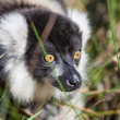 black and white ruffed lemur — Stock Photo