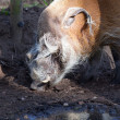 Red River Hog — Stock Photo #9621278