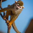 Royalty-Free Stock Photo: Squirrel Monkey climbing on Branch