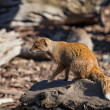 Mongoose 2 — Stock Photo