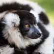 Lemur on grass - Stock Photo