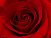 Close up macro of red rose — Stock Photo