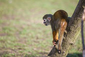 Macaco esquilo — Fotografia Stock