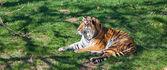 Tiger resting on the grass looking — Foto Stock