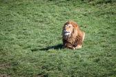 Lev na trávě — Stock fotografie