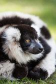 Lemur on grass — Stock Photo