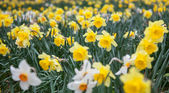 Daffs 2 — Stock Photo