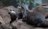 Otters on rocks together — Zdjęcie stockowe