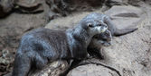 Two Otters snuggling together — Stock Photo
