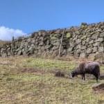 Sheep and wall — Stock Photo