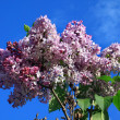 lilac bloom — Stock Photo