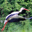 Stock Photo: White stork taking off