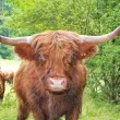 Highland cattle — Stock Photo #9971253