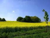 Rape field in springtime — Stock Photo