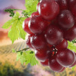 Wet grapes on bush — Stock fotografie