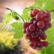 Wet grapes on bush - Stock Photo