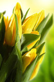 Tulips of yellow color — Stok fotoğraf