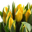 Wet tulips with green leavess — Stock Photo