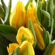 Stock Photo: Macro yellow tulips