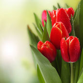 Tulips flowers and green background — Photo