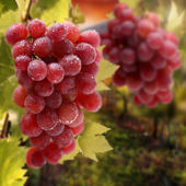 Wet grapes fruits on busch and wet leaves — ストック写真